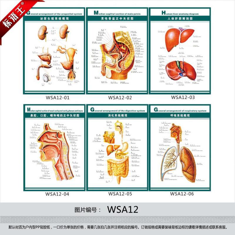 订做医院挂图海报,人体器官系统结构图示意图解剖图贴画wsa