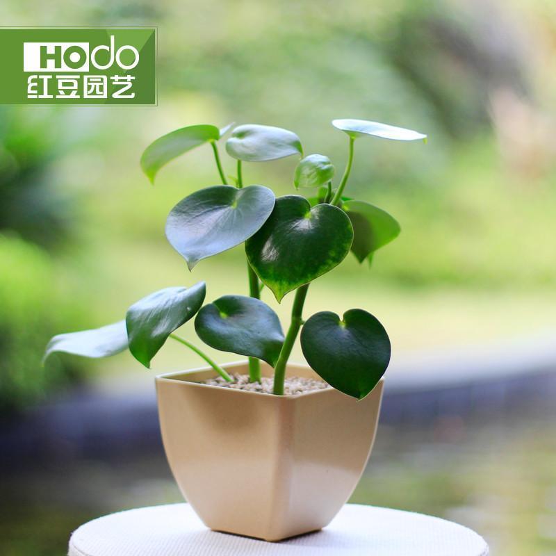 室内盆栽植物盆景净化空气吸甲醛绿植红豆园艺
