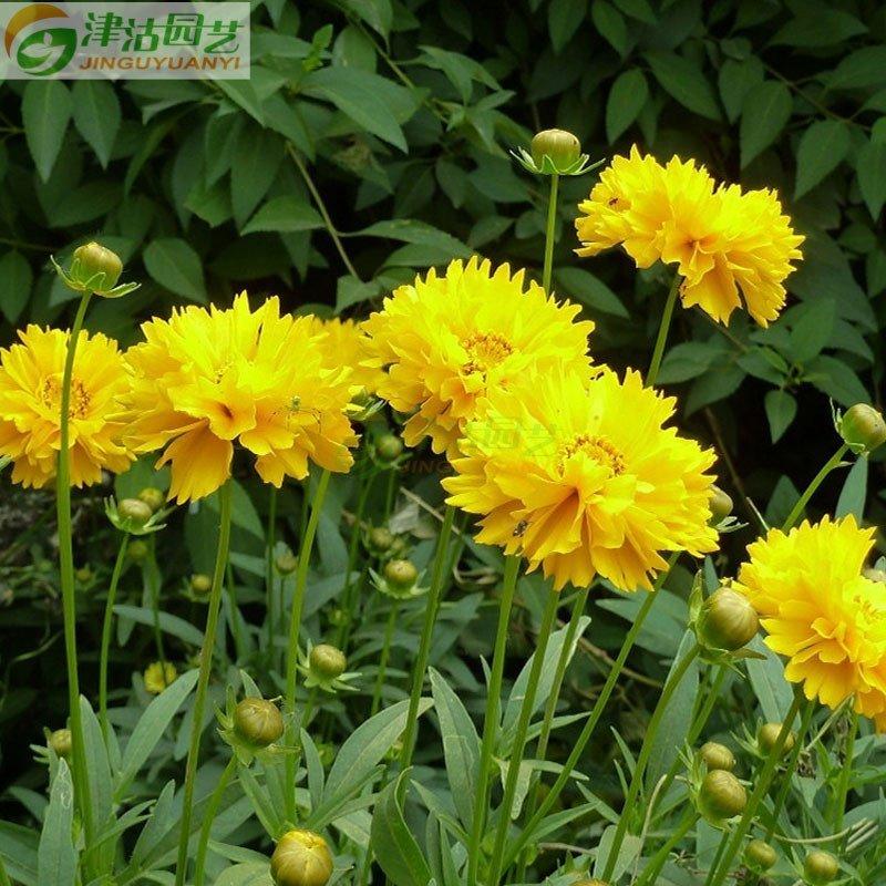 花卉种子 菊花种子 重瓣金鸡菊种子 盆栽种子 阳台种植