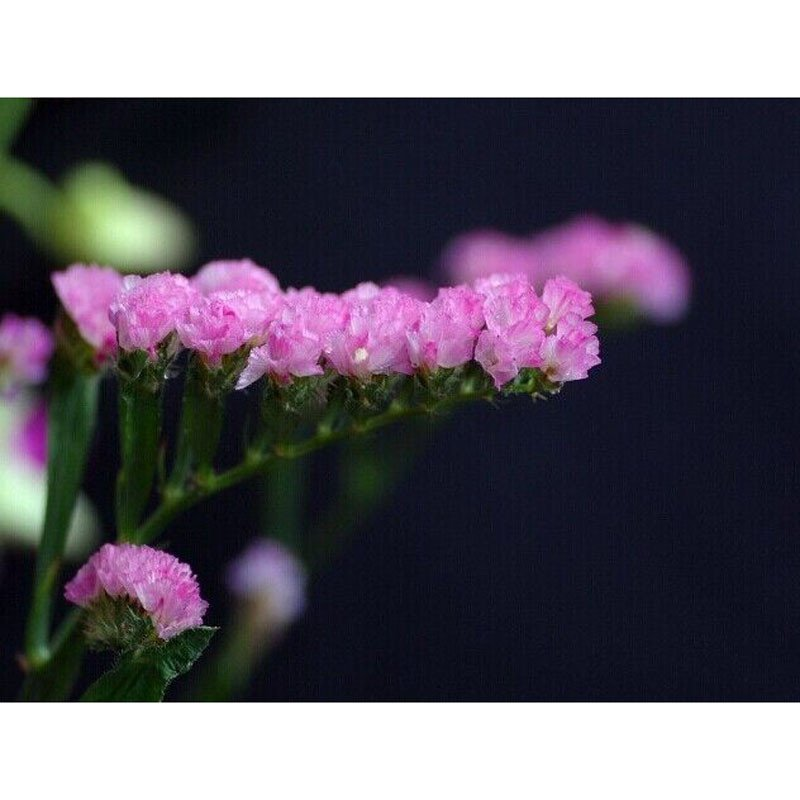 我要发芽 花卉种子 紫色勿忘我种子 星辰花 生长快 耐寒 35粒/包