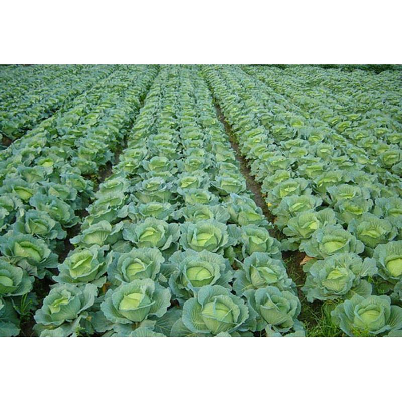 我要发芽 蔬菜种子 新8398甘蓝种子 包菜种子 一代杂交 包头菜 10克图片