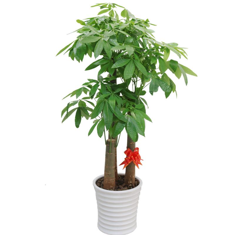 大型步步高三杆发财树盆栽开业乔送礼室内客厅办公室植物花卉
