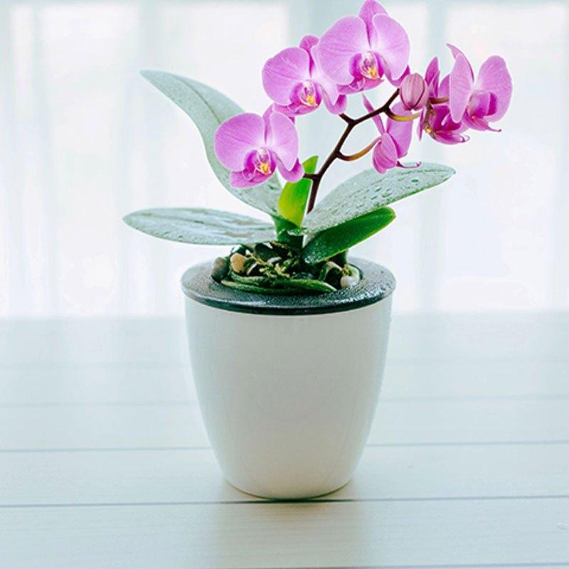(带盆栽好)蝴蝶兰盆栽花自动吸水蝴蝶兰苗花卉阳台办公桌窗台茶几书房