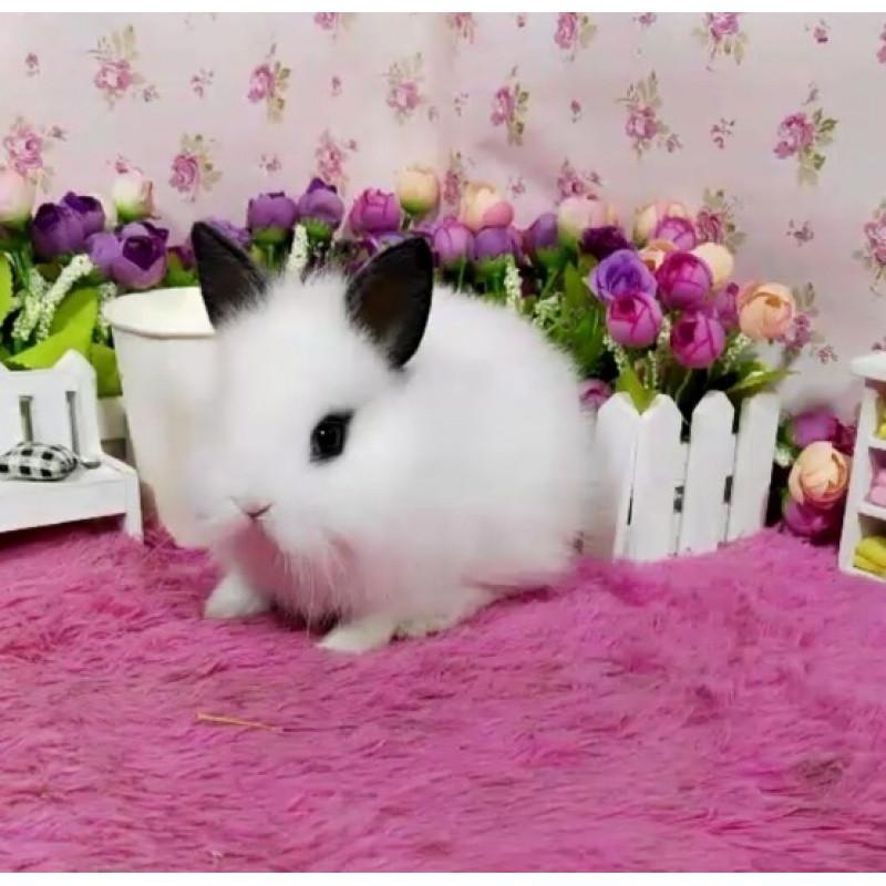 宠物兔侏儒兔小型海棠兔宝宝凤眼西施茶杯兔长不大