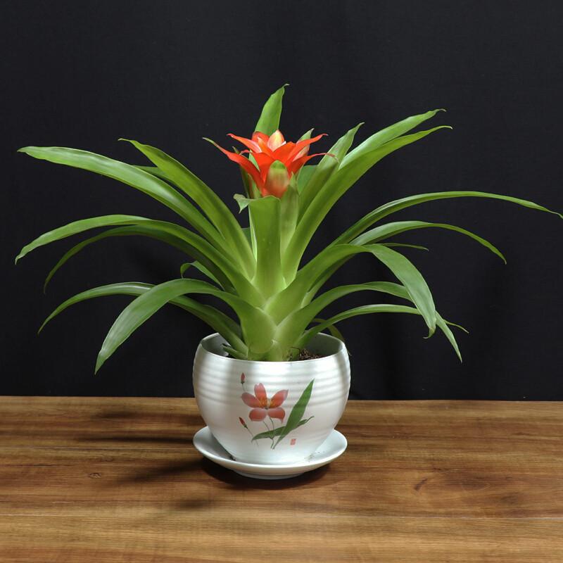 鴻運當頭盆栽綠植中國大紅花樹盆栽植物室內客廳鳳梨花小紅星 home瓷